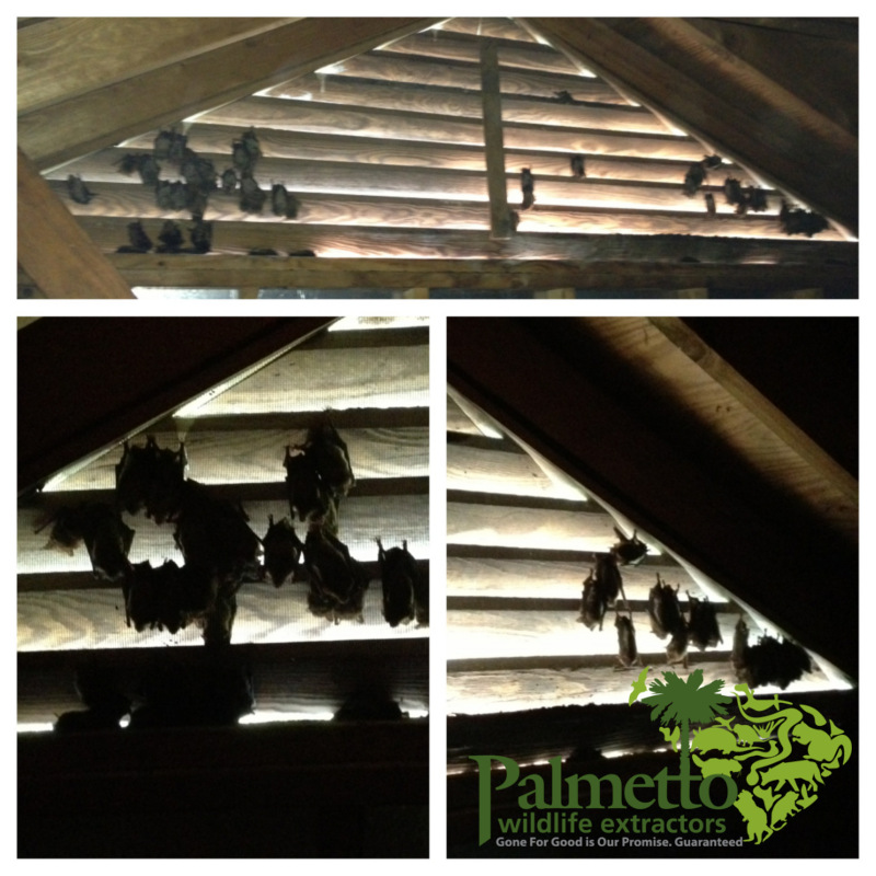 Examples of bats living in an SC attic. Call us today!