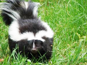 How to Skunk Proof Your Yard | South Carolina (SC ...