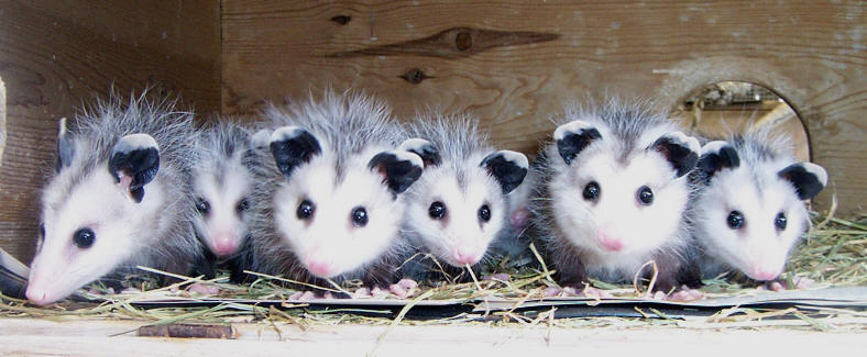 opossums that can be extracted by Palmetto Wildlife in South Carolina