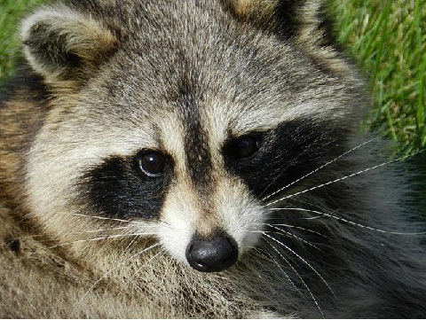 How to Evict Raccoons from Your Home