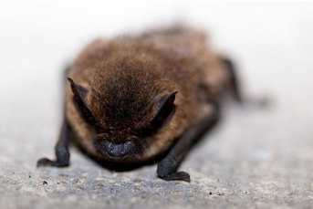 4 Signs You Have a Bat Infestation