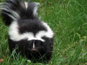 How to Eliminate the Smell of Being Sprayed by a Skunk