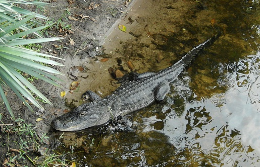 alligator in south carolina