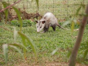 Are Possums Truly Pests