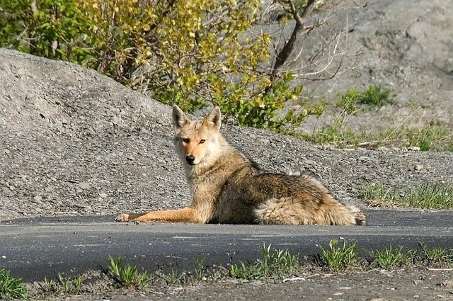 Coyote Nuisance Concerns