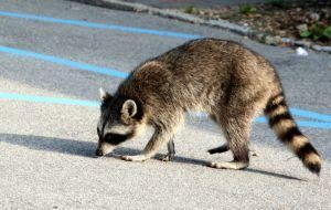 Diseases Raccoon Can Transfer to People