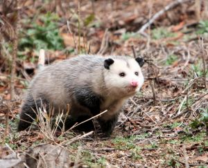5 facts you did not know about possums