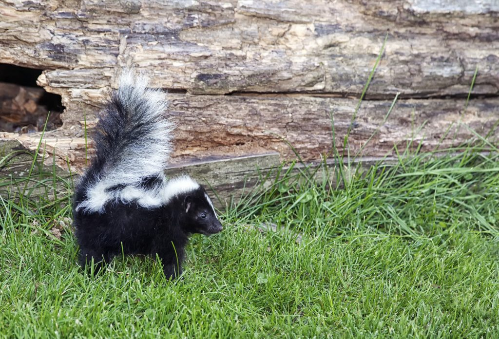 Skunk Smell Removal Myths and the Best Solution