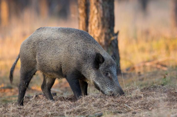 Wild Hogs in South Carolina
