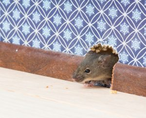House mouse gets into room through hole in wall.