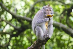 Portrait of monkey eating banana