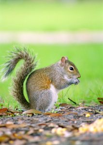 Managing Squirrels on Your Property