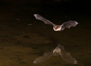 Residents Urged to Practice Caution Around Bats