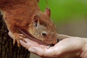 Feeding of the squirrel.