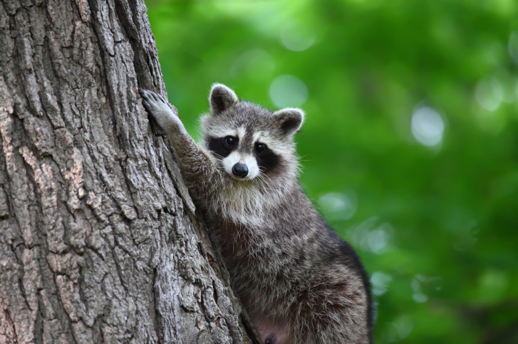 Raccoon climbing a tree looking at camera
