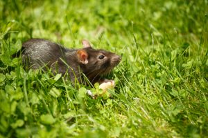 Getting to Know the Rats That Share Your Home