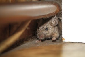 4 Ways to Keep Mice and Rodents from Settling in Your Home