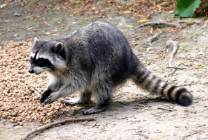 CBRM Calls for Help to Control Nuisance Raccoons