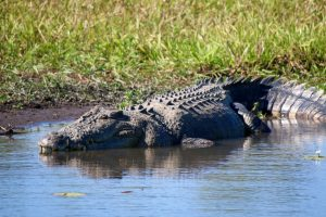 Crocodiles Can Keep Watch While Asleep