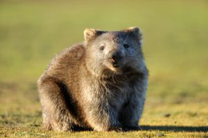 Fascinating Facts About Wombats