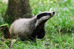 Fun Facts About Badgers