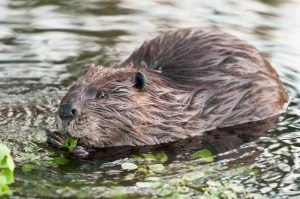 Interesting Facts About Beavers