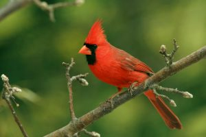 Interesting Facts About Northern Cardinal