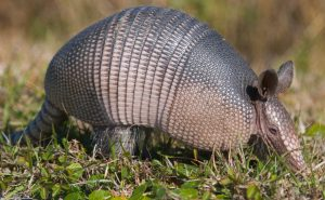Known Facts About Armadillos