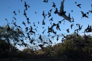 Myths and Facts About Bats