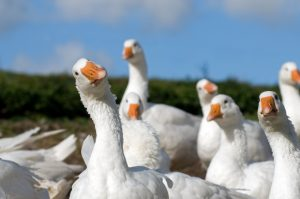 Proposed Geese Removal Solutions in Tennessee