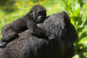 Fascinating Facts About Baby Gorillas