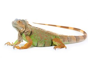 Fun and Cool Facts About Iguanas