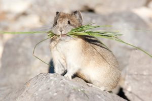 Interesting Facts You Might Not Know About American Pika