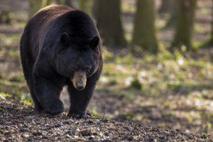 A wild black bear
