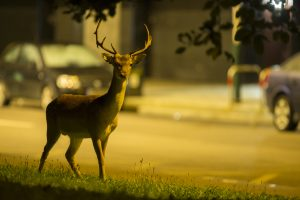 Urban fallow deer - Dama dama
