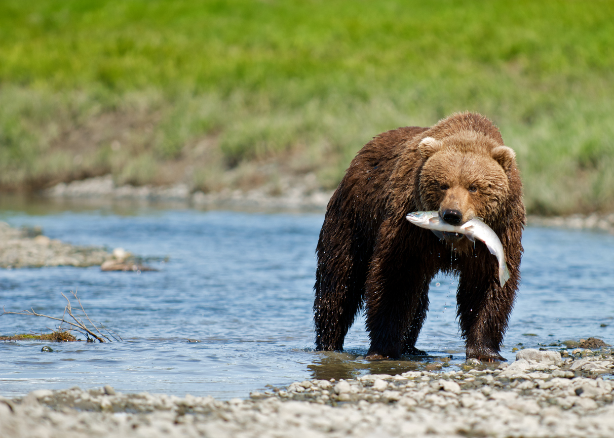 Alaskan Brown Bear with Sockeye Salmon