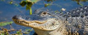 Southeastern Alligator