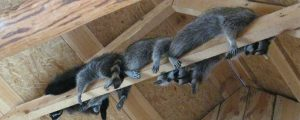 5 Signs It Is Time to Call for Raccoon Removal Services