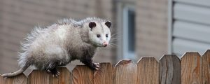 5 Signs That You Have An Opossum Problem