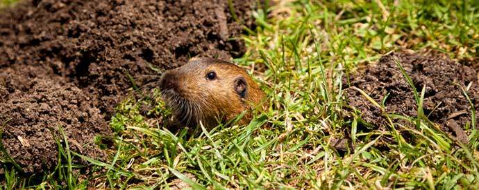 5 Diseases Carried By Gophers