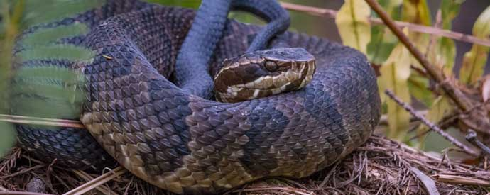 Top 3 Venomous Snakes Found In South Carolina