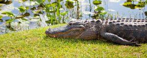 Alligator Removal South Carolina