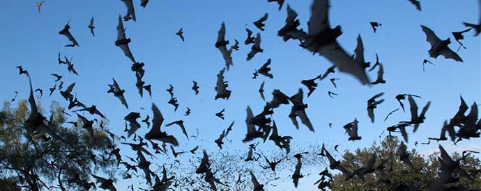 Bat Infestations South Carolina