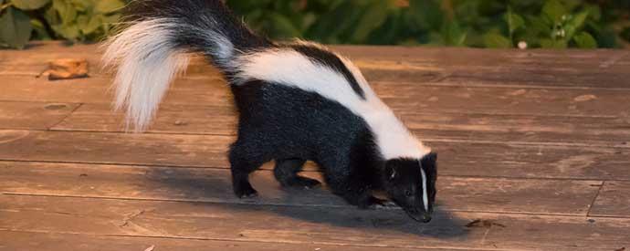 Skunk Removal South Carolina