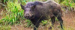 Wild Pig Removal South Carolina