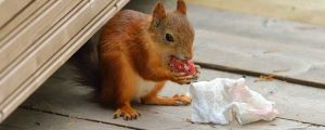 Squirrel Removal in South and North Carolina