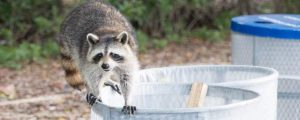 racoon in trash