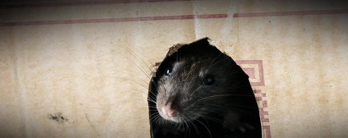 signs that you have a rat in the house