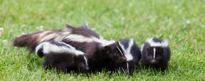 Eliminating Skunk Odor