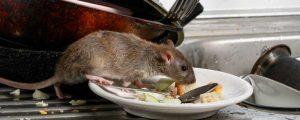 Health Risks Of Rat Infestations
